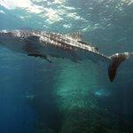 Whale Shark at Koh Haa