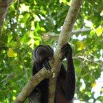 Fauna (mono aullador)