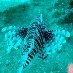 Lion fish - scuba diving