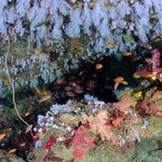 beautiful soft coral canopy on a dive