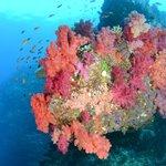 beautiful soft coral vista ona dive