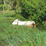A waterproof cow :-)