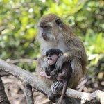 Mangrove Safari - macaque baby and mom