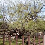 Great old Mesquite tree