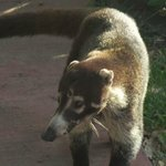 raccoon like animal on resort
