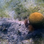 Brain Coral at Leinster Bay
