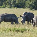 Some of the many Rhinos we saw