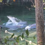 Blue Spring State Park - Manatees