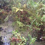 Exquisitely beautiful ferns visible throughout swamp walk