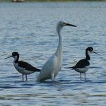 two black necked stilts and one snowy egret