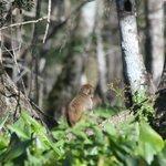 A resident Rhesus Monkey