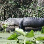 A large alligator with what looks like a full belly