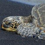 Green-sea turtle