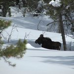 Moose seen from the trail