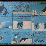 Information on the Leatherback turtles
