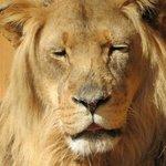 Lion sunning himself