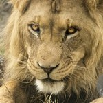 Younger lion - can't quite recall his name