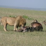 king of the jungle feasting while vultures wait
