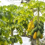 Nefry's Retreat fresh papaya trees