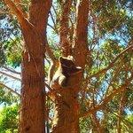 piccolo koala