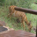 wake up to see Nyala grazing
