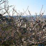 白い梅の花は青い空に似合います。見上げてどうぞ。