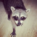 racoon time