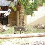 warthog visitor