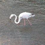 Flamingo at work