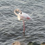 Flamingo minding his own business