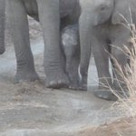 Newborn baby elephant being protected by Mom