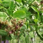 cashews on a cashew tree