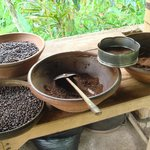different stages of the civet coffee beans