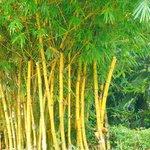 Golden Bamboo growth
