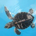 saving the endangered Green Turtles