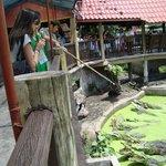 Crocodile fishing/feeding from the bridge above