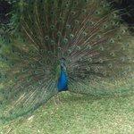 Male peacock running free inside zoo