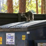 Racoon dumpster diving