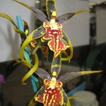 Akatsuka Orchid Gardens - Spider Orchid