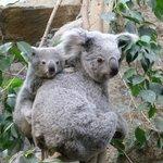 Mum Koala with baby Joey