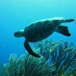 Green turtle posing