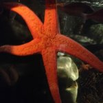One of the Starfish at the Sea Life Centre