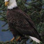 Eagle near the glacier