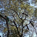 Peacocks in Tree