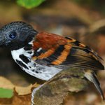 Spotted antbird as seen on our guided tour of the Pipeline road