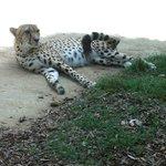 Cheetah keeping an eye on everyone