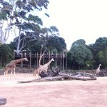 Giraffes in Pridelands