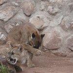 Pumas recuperados
