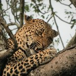 Female leopard, her and her son were finishing their kill