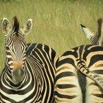 Two Zebra near the landing strip
